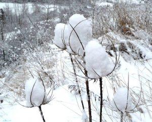 fleur-des-neiges-6