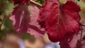 feuille-de-vigne-bordeaux